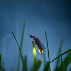 Female firefly flashing for a mate on grass blade